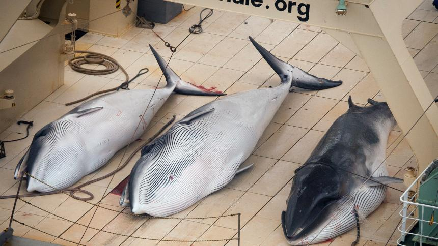 Japan poised to bring back commercial whale hunts